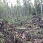 В Торопецком районе варварски уничтожаются сосновые боры, на их месте останется пустыня