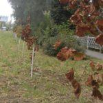 Кто убил в Кимрах недавно высаженную кленовую аллею?