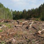 Вырубка леса под Торопцем: сын вырубает, отец контролирует, невестка выдает нужные бумаги, арендатор получает доход