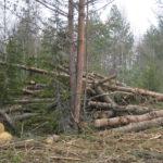 В Осташкове варварски рубят лес, люди не доверяют местной власти и полиции, и пишут в Тверь