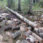 Оленинский район: лесоповал на братском кладбище