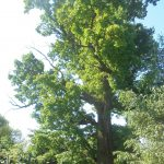 Бологовцы просят взять под защиту дуб, которому около 200 лет