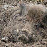 В Тверской области зафиксирован второй случай африканской чумы свиней