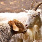В Тверской области зафиксированы случаи заболевания оспой овец и коз. Беларусь уже ввела ограничение на ввоз животных из нашего региона