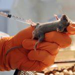 Учёные сообщают об опасности распространения  нового  вируса из Китая. Болезнь разносят мыши