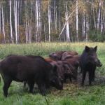 Охотникам разрешили охотиться на кабанов