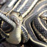 Нашествие змей в Тверской области: их стало так много из-за самоизоляции людей?