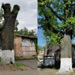 Зачем изуродовали старинный дуб в Твери?