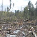 Незаконные вырубки в 2020 году выросли на 50%. «Черные лесорубы» продолжают расхищать леса Тверской области.