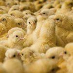 «Ростелеком» тестирует в Тверской области систему видеоаналитики для птицеводческих хозяйств