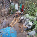 Житель деревни в Калининском районе безнаказанно истязает собак и морит их голодом? Новые жертвы «Львовича»