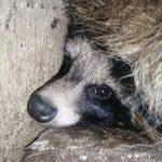 В Кувшиновском районе неизвестные создали «концлагерь» для енотовидных собак. Волонтёрам удалось спасти нескольких животных, но полиция отказалась возбуждать уголовное дело
