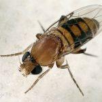 Ввоз табачного сырья из Японии запретили из-за мухи-горбатки. Насекомое переносит опасные для человека болезни, в том числе холеру