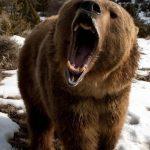 В Селижаровском районе сообщили о медведях-шатунах