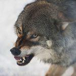 В Конаковском районе волки выходят в деревни и нападают на собак? Видео