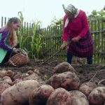 За выращивание картофеля могут оштрафовать?