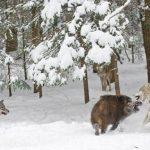 Правда о волках: как они живут и охотятся