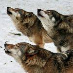 Волкофобия. К чему приведет повсеместное уничтожение волчьих стай?