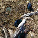 Атака на птиц. В Кимрах живодер растерзал уток, а в Твери чайки могут погибнуть из-за благоустройства берега Лазури