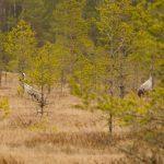 Заповедные журавушки: как живут эти птицы в Тверской области?