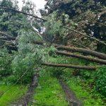 В посёлке Новозавидовский аварийные деревья падают на провода: почему бездействует местная власть?