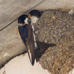 Не обижайте ласточек! Почему эти птахи лепят гнёзда прямо на домах?