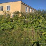 В Калязинском районе вырос борщевик размером с дом
