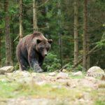 В Удомельском округе из-за аномальной жары медведи выходят к деревням