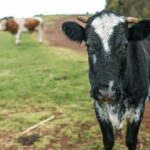 В Удомельском округе ликвидируют коров