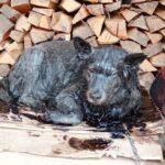 В Максатихе спасли собаку, провалившуюся в яму с битумом