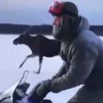 За лосиху ответят: в Тверской области трое мужчин предстанут перед судом по обвинению в незаконной охоте и жестоком обращении с животным*