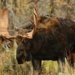 В тверских лесах у лосей начался гон: как избежать встречи со зверем?