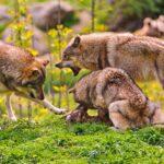 Кто виноват в «разбое» волков? Почему травоядные не могут обойтись без хищников…